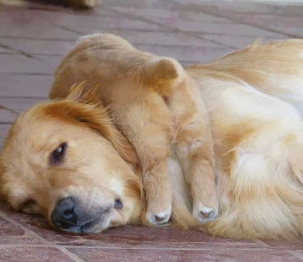 cachorro dormindo por cima