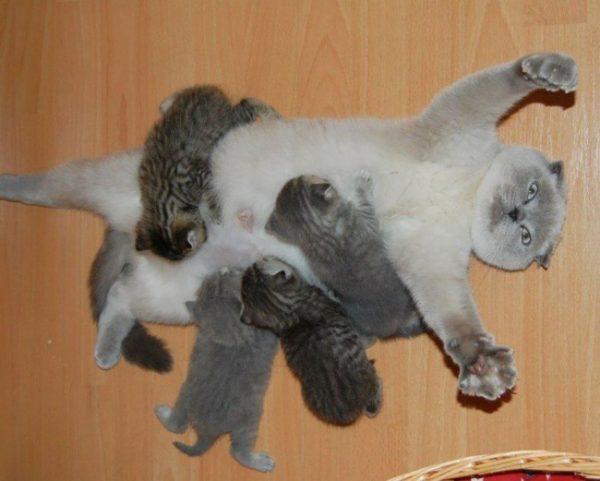 gato amamentando