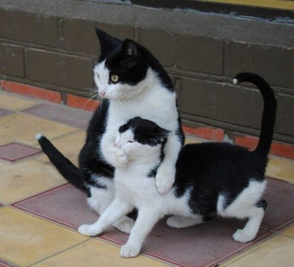 gato silenciando filhote
